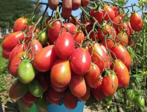 خصائص Chio Chio San Tomatoes