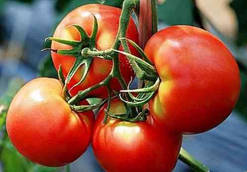 وصف أفضل أصناف الطماطم لعام 2018