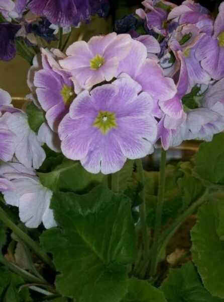 وزهرة الربيع – في إناء – عناية
