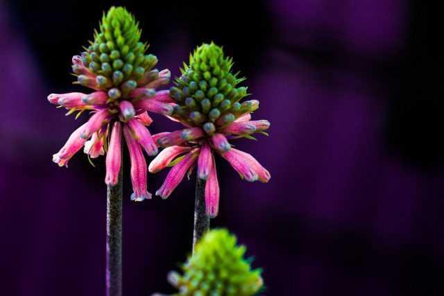 ويلثيميا – شعلة الشتاء – الرعاية