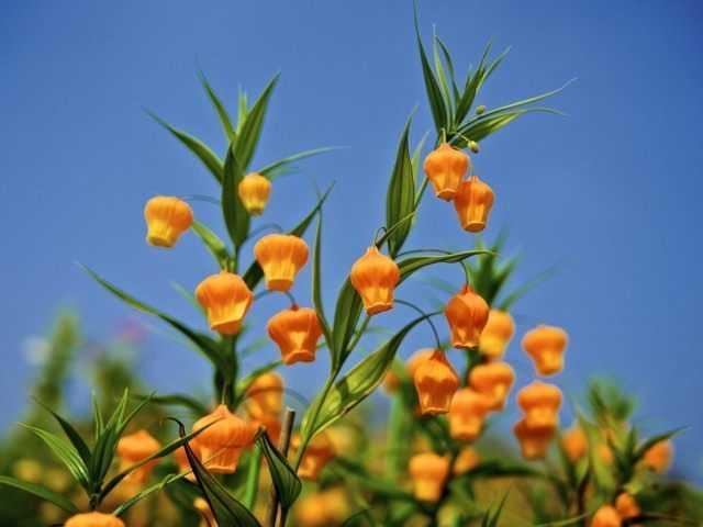 Sandersonia الفاخرة ، أو Golden Lily of the Valley