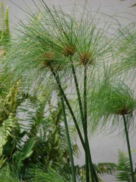 Tropical Sedge Brother – Care