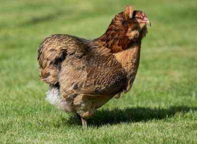 Hühner Grüne Eier