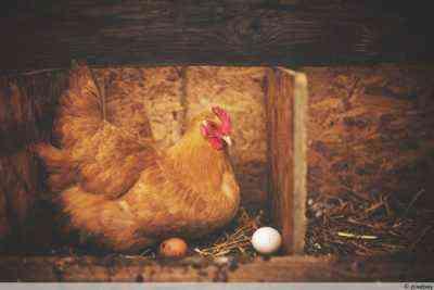 Wie Viele Eier Legt Ein Huhn Am Tag