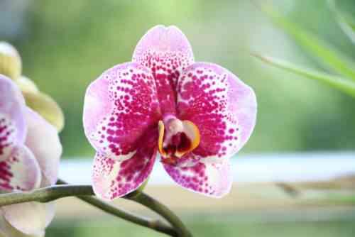 Beschreibung der Phalaenopsis-Orchidee