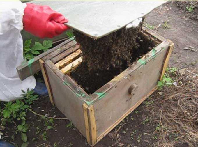 Bienenschwarm im Bienenstock