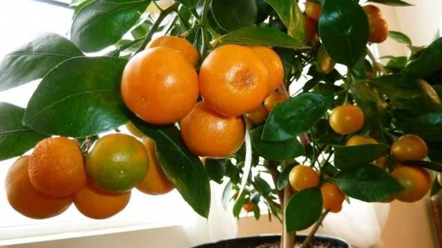 Hausgemachte Mandarine vom Knochen: von A bis Z