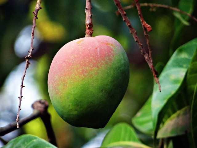 Mango - saftige Frucht - Pflege