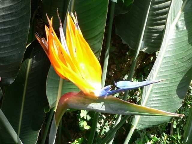 Strelitzia - Paradiesvogel - Pflege