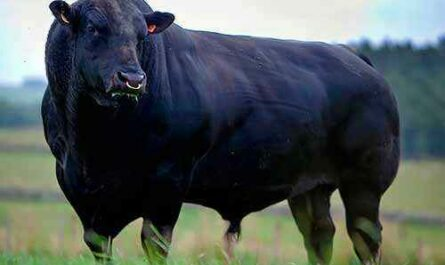 Aberdeen Angus breed of cows