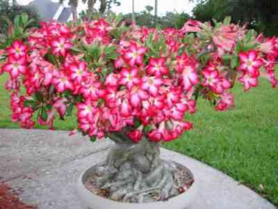 Adenium Obesum - how to care for a flower