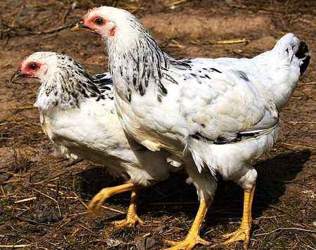 Adler silver breed of chickens