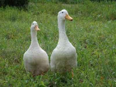 Agidel duck characteristic