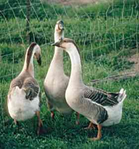 All about breeding geese