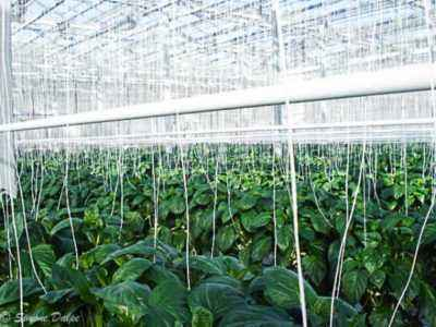 All about feeding pepper after planting in a greenhouse
