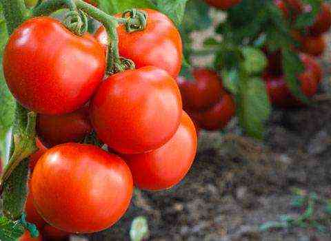 Application of potassium sulfate for tomatoes