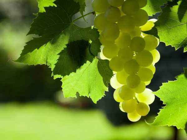 Are grape leaves useful for rabbits