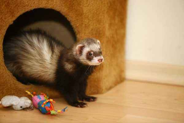 Are the ferret and cat friendly
