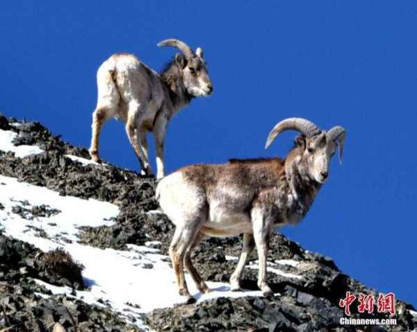 Argali – endangered mountain sheep