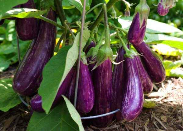 At what temperature do eggplants grow