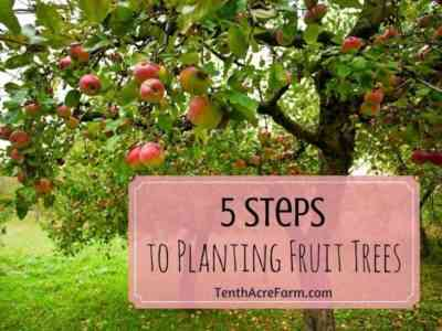 Autumn apple tree transplant - when to carry out the procedure