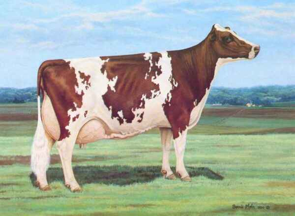 Ayrshire breed of cows