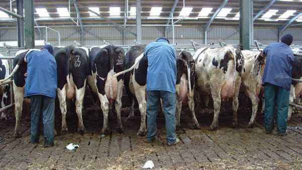 Basic rules for artificial insemination of cows