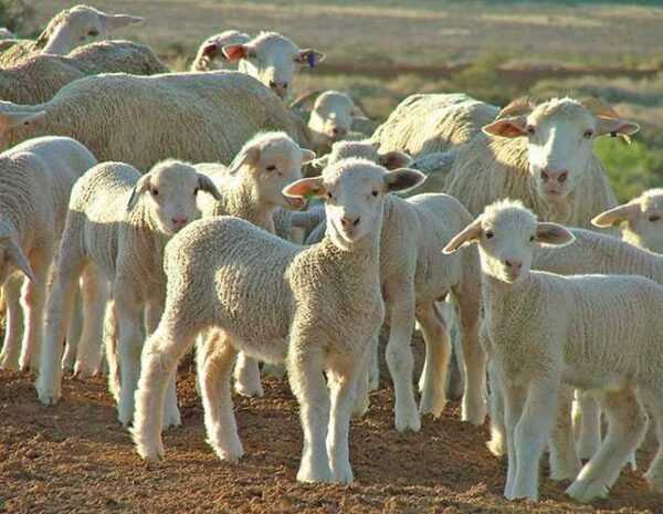 Basic rules for feeding sheep