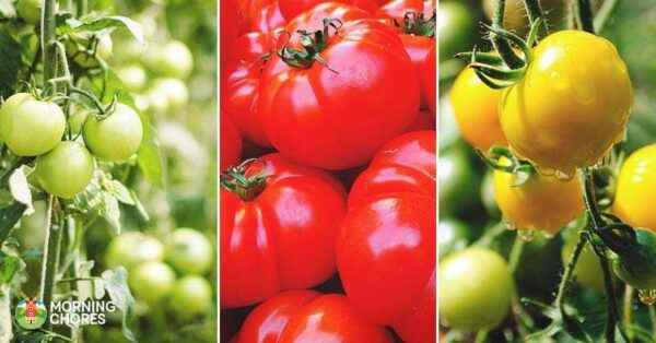 Best tomato varieties for 2019