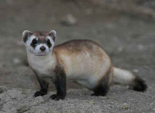 Black forest ferret