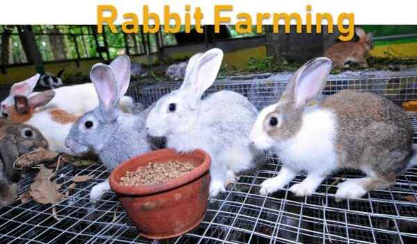 Breeding rabbits as a business at home