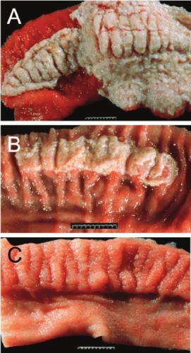 Calf gastroenteritis
