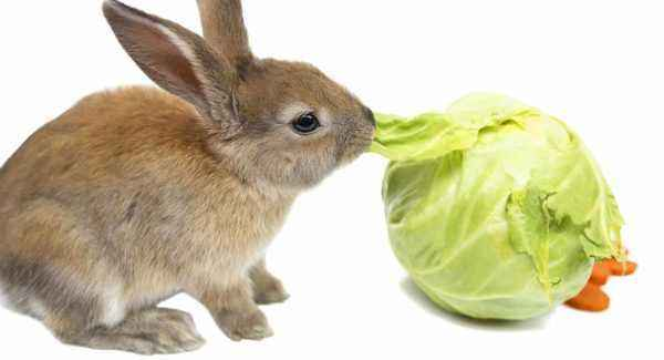 Can rabbits be added to the diet in cabbage