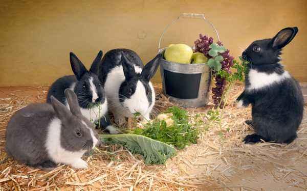 Can rabbits be given raw squash