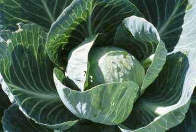 Care rules for growing cabbage in the garden