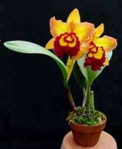 Cattleya Orchid Growing