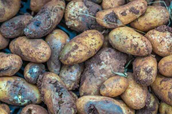 Causes of blackening of tops of potatoes