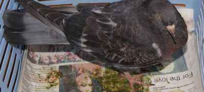 Causes of coccidiosis in pigeons