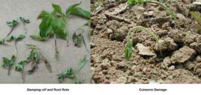 Causes of death of pepper seedlings