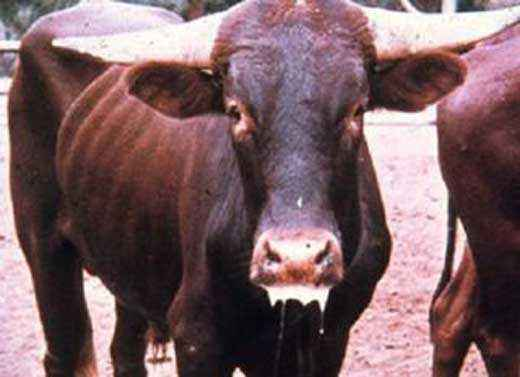 Causes of foot and mouth disease in a cow