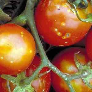Causes of midges on tomatoes