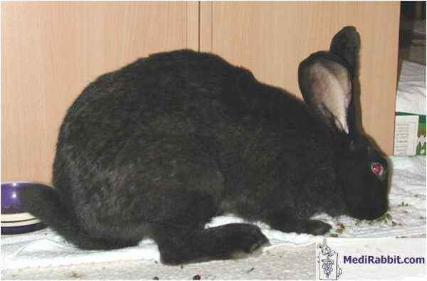 Causes of Pododermatitis in Rabbits