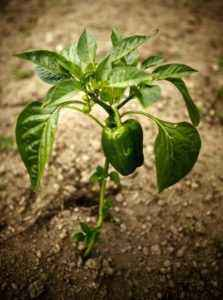 Causes of Poor Pepper Growth