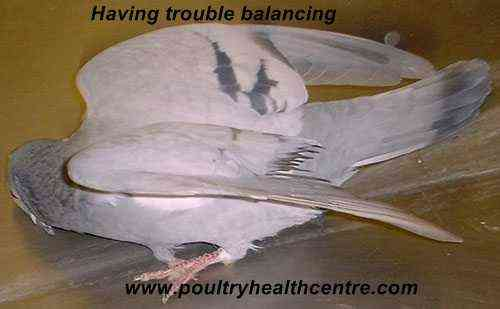 Causes of salmonellosis in pigeons
