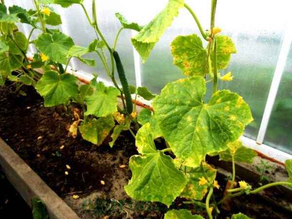 Causes of withering of bush cucumbers
