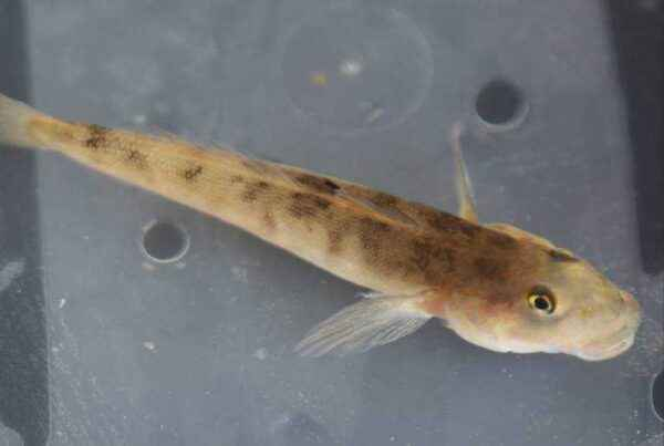 Causes of worms in gobies