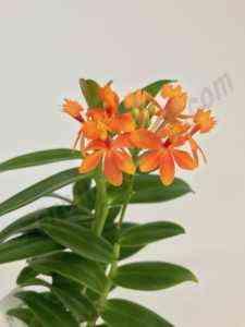 Characteristic Orange Orchid