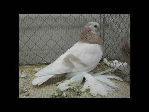 Characteristic pigeon Agaran
