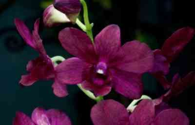 Characteristic Red Orchid