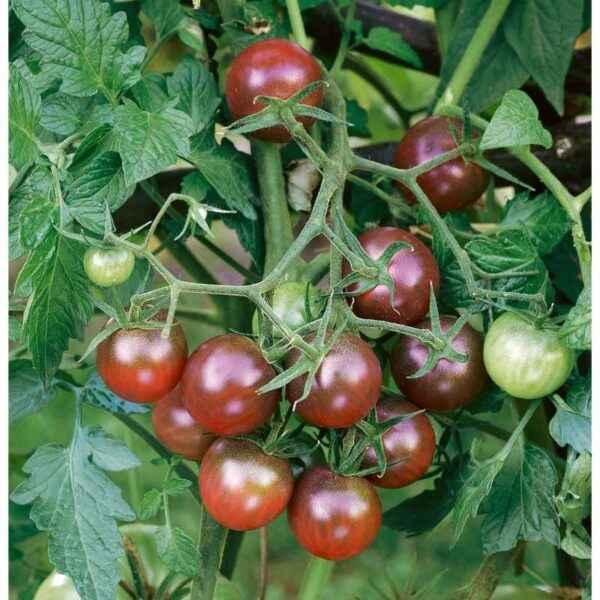 Characteristic tomato Black elephant
